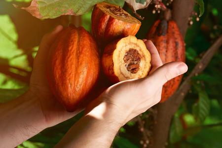 男の手でカカオの果実のクローズ アップ。チョコレートの生産のためのフルーツ