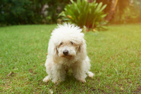 Poodle dog pooping on green grass in park. Dog making poo in park Stock Photo