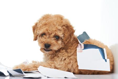 破損した紙写真の部分が白い背景で隔離の敷設いたずらプードル子犬