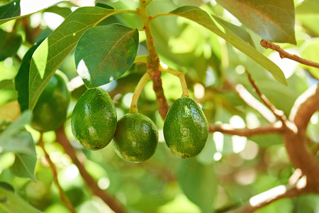 Group of avocado hang on tree close-up. Avocado green plant