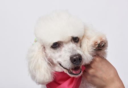 Retrato del caniche blanco preparado feliz que mira in camera aislado en el fondo blanco. Caniche blanco sosteniendo la pata