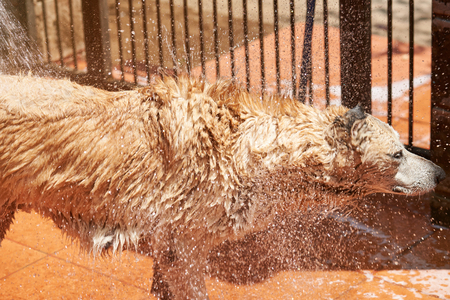 Drops flying from wet dog fur. Washing brown big dog view from side