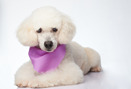 Cute groomed white poodle dog laying isolated