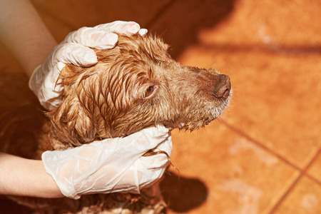 Cleaning brown dog from flea service. Close-up of wet spaniel dog head
