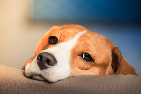 Sad beagle dog portrait. Tired beagle dog close-up.