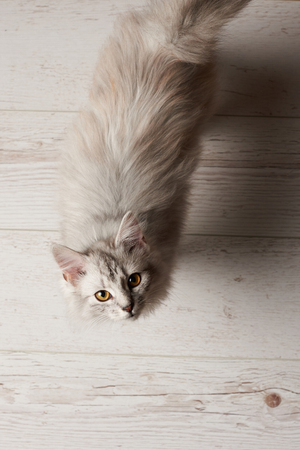 Cat look up in camera staying on white wooden floor