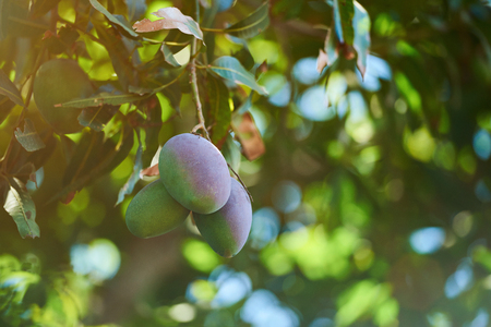 Mango fruit ripe on garden tree. Exotic summer mango fruits