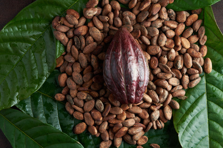 Fresh cacao fruit theme on top of dark wooden table Stock Photo