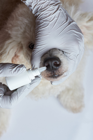Putting drops in dog nose in vet clinic close-up view Stock Photo