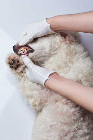 Checking dog teeth theme. Vet dentist opening poodle dog mouth
