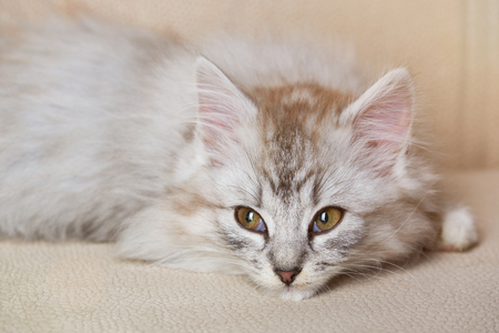 Kitty lay on sofa and look to side. Fluffy gray cat look on side Stock Photo