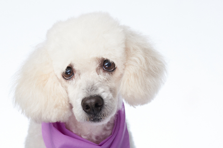 Portrait of cute white poodle dog isolated on background