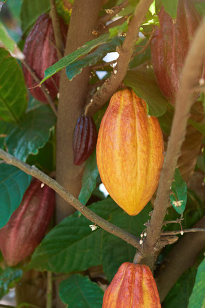 Colorful cacao pod on tree branch close up
