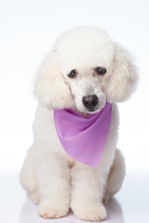 Groomed white poodle dog isolated on background 스톡 콘텐츠