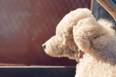 White poodle dog looking out from car window on sunny day 스톡 콘텐츠
