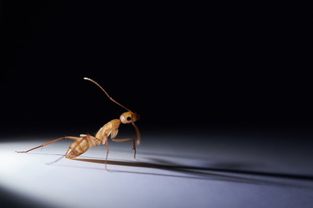 One brown ant on black background illuminated with light