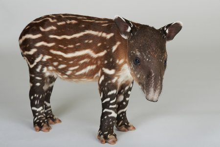 Brown tapir with stripes isolated on white background