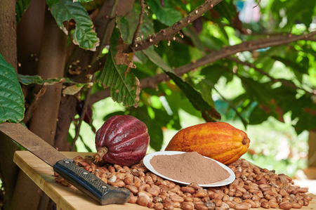 Colorful cacao harvest background. Ripe of cocoa fruits