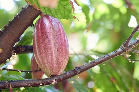 Macro of wet cocoa pod hanging on tree Reklamní fotografie - 119782442