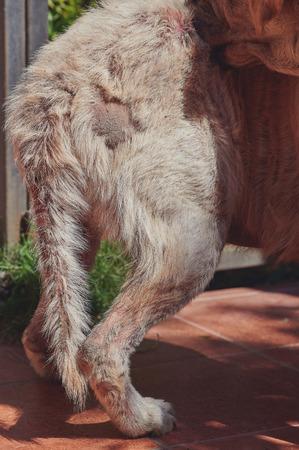 Sick of fungus dog biting his fur. Damaged dog tail