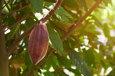 Dunkle Bown Kakaofrucht auf sonnigem Baum unscharfer Hintergrund