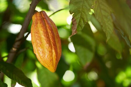 Colorful cocoa raw pod hang on plant close up view
