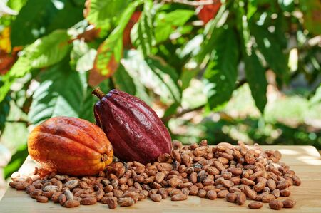 Colorful raw cacao fruits on table in blurred natural background 스톡 콘텐츠