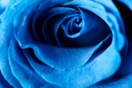Blue pastel color background. Blue rose bloom Imagens