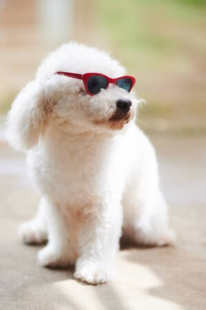 White poodle dog in sunglasses looking on side Stock Photo