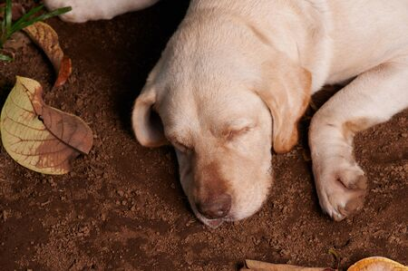 Relax cute labrador dog sleep on ground above top view