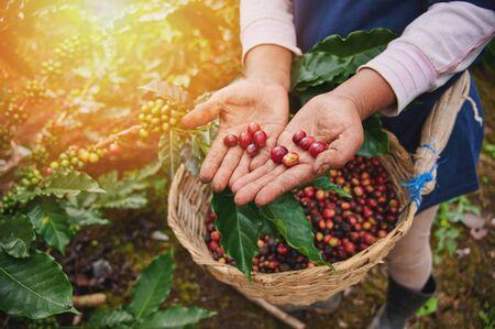 Chicchi di caffè rossi nella macro della mano dell'agricoltore vista da vicino