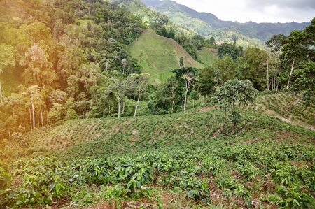 Plantation of coffee trees in mountain hills on sunny day