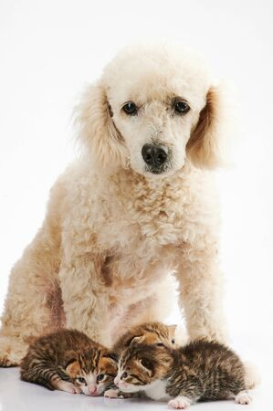 White poodle dog with small kittys  isolated on white background