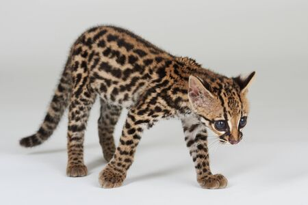 Small wild cat isolated in studio walking pose