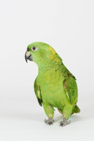 Verrückter grüner Papagei lokalisiert auf weißem Studiohintergrund