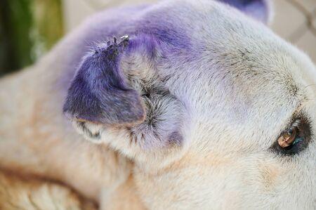 Gros plan sur une oreille de chien blessée avec une vue latérale des piqûres de mouches