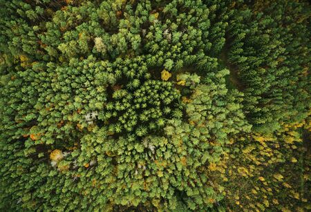 Autumn green pine forest above drone top view Stockfoto