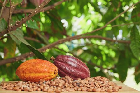 Cacao farm theme. Two colorful cocoa pods on table