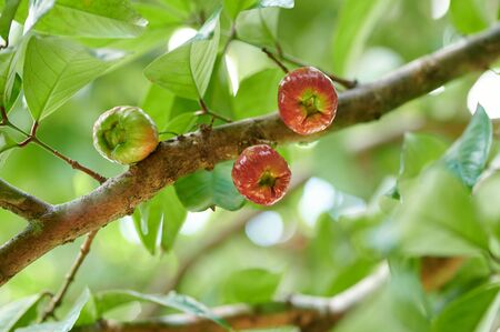 Red wax apple fruits hanging on tree branch