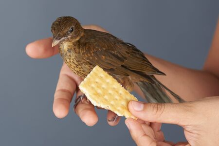 Feeding brown trush bird with cookie from hands close up view