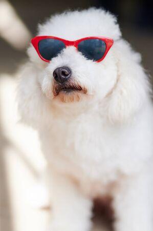 Curios poodle in sunglasses portrait close up view Foto de archivo