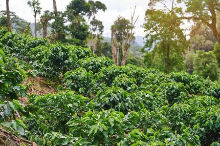 Young coffee plants on mountain hill in bright sunny day