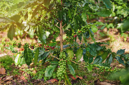 Arabica coffee tree with red and green berries Stock Photo