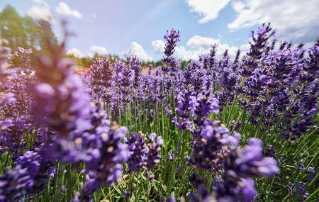 Lavender flowers on blue sky background close up view Standard-Bild