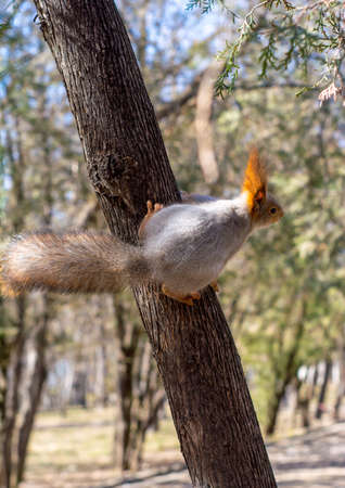 Fluffy squirrel held by claws on a tree in a resort park and looking forward, sunny day, the city of Yessentuki.