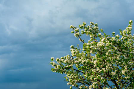 Blossoming branches of a pear tree with young green leaves against the backdrop of a stormy sky in the corner of the frame, copy space.