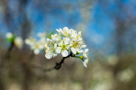 Flowering pear tree branch close-up in a fruit garden against a blue sky and blurred plants.
