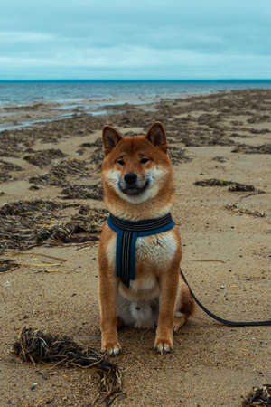Young pedigree dog resting on the beach. Red shiba inu dog sitting near the Sea of Okhotsk on the island of Sakhalin