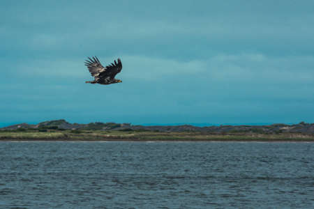 White-tailed Sakhalin eagle flies spreading its wings over the bay in cloudy weather 版權商用圖片