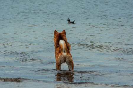 A young hunting red dog of the Shiba Inu breed stands in the water and looks at a swimming duck
